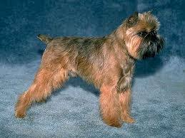Image result for belge brussels griffon pictures