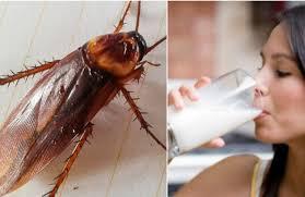 Αποτέλεσμα εικόνας για γάλα κατσαρίδας