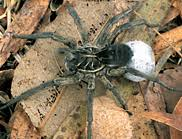 Wolf spiders | CSIRO