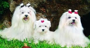 Resultado de imagen para perros raza maltes