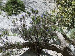 NOME SCIENTIFICO : Lithodora rosmarinifolia