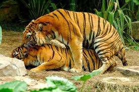 Image result for images of tiger mating