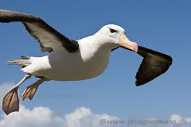 Image result for albatross