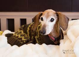 Image result for senior dachshund images