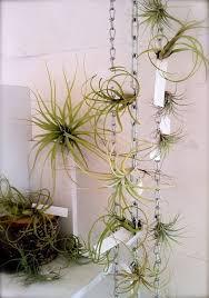 images air plant ideas