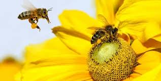 Znalezione obrazy dla zapytania pszczoła , miód -zdjęcia
