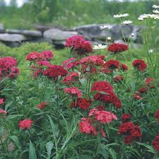 Sweet William - FineGardening