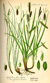 Carex distachya – Wikipedia