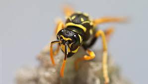 Αποτέλεσμα εικόνας για μελισσες