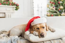 <b>Santa Claus</b>. <b>Cute</b> Big Labrador In Red Hat Is Lying On <b>Pillow</b> ...