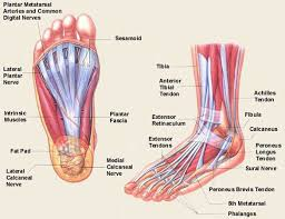human anatomy  foot anatomy diagram ligaments bottom of foot        anatomy of the foot foot anatomy names of  s of feet foot anatomy plantar surface medial