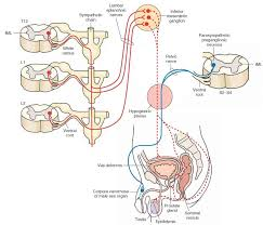Image result for sympathetic plexus