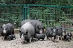 Породы свиней для разведения в домашних условиях
