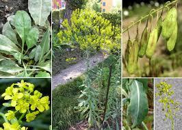 Isatis tinctoria L. subsp. tinctoria - Portale alle piante spontanee ...