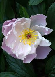A Peony greeting card for every day featuring a pink and <b>white peony</b>