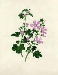 Malva sylvestris L. | Flora of Israel Online