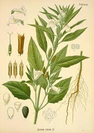 Pedaliaceae - Wikipedia