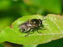 「蜜蜂 黒」の画像検索結果