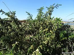 Etnanatura Flora: Thymelaea hirsuta