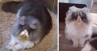 This <b>Sheep</b>-<b>Cat</b> Has Some Of The Weirdest Fur We've Ever Seen ...