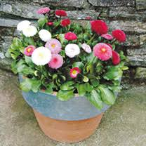 <b>Bellis</b> Plants - <b>Spring</b> Star Mix | Suttons