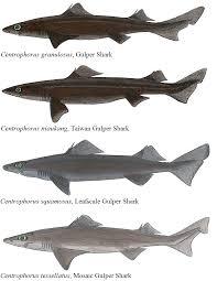 gulper shark a comprehensive list of similarities in centrophorus