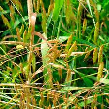 Bromus sterilis (poverty brome): Go Botany
