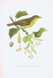 гравюра kronen v птицы горная