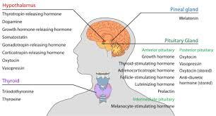 endocrine system   wikipediaendocrine organs and known secreted hormones edit