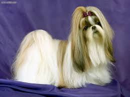 Πώς λέγεται ο σκύλος Shih tzu;