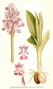Orchis militaris Military Orchis PFAF Plant Database