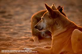 the voice of stray dogs stray dogs in n cities a photo i m the archetypal n stray dog