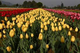 Indira Gandhi <b>Tulip Garden</b> (Srinagar) - 2020 What to Know Before ...