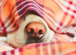 What is Dog Snow <b>Nose</b> and What Can You Do About it? | PetMD