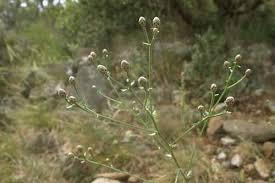 Centaurea aplolepa · iNaturalist