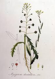 Camelina alyssum - Wikispecies