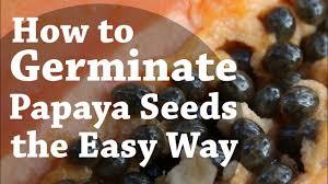 How To Germinate <b>Papaya Seeds</b> the Easy Way (TCEG Episode 2 ...