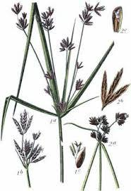 Cyperus longus Galingale PFAF Plant Database