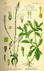 Verbena officinalis Vervain, Herb of the cross, Prostrate verbena ...