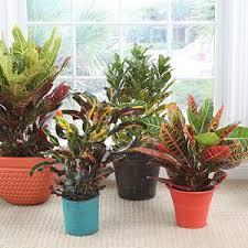 croton best low light office plants