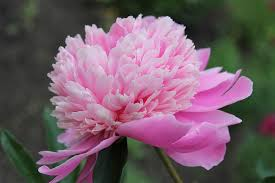 <b>Pink Flowers</b>: 21 Types + Pictures | FlowerGlossary.com