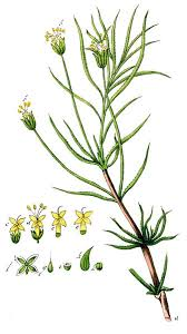 File:Plantago cynops Ypey41-cropped.jpg - Wikimedia Commons