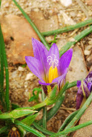 Romulea bulbocodium - Wikipedia