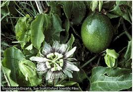 Resultado de imagen para imagenes de planta de maracuyá