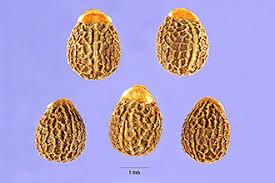 Plants Profile for Euphorbia helioscopia (madwoman's milk)