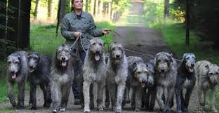 Image result for pictures of irish wolfhounds