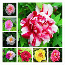 <b>2019The</b> lowest price10 <b>Pcs</b> Paeonia Lactiflora bonsai Heirloom ...