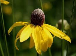 Ratibida pinnata - Michigan Flora