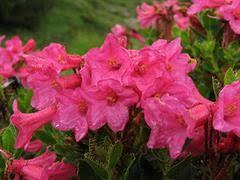 Rododendro irsuto [Rhododendron hirsutum]