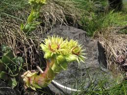 Sempervivum wulfenii · iNaturalist.org